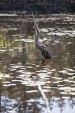 干燥根在沼泽 库存图片