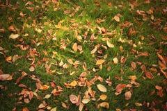 干燥桔子叶子 库存图片