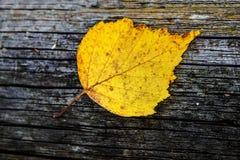 干燥桦树叶子 库存照片