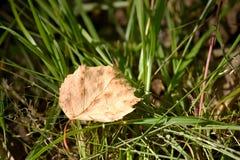 干燥桦树叶子 免版税图库摄影