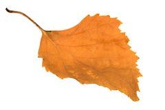 干燥桦树叶子 库存图片