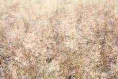 干燥棕色草的背景图象在领域的 免版税图库摄影