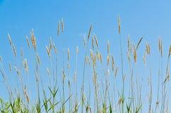 干燥棕色草 免版税库存图片