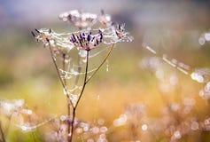 干燥植物和露滴 免版税图库摄影