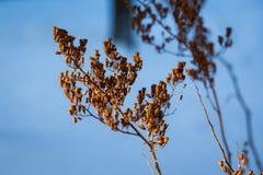 干燥植物在冬天 免版税库存图片