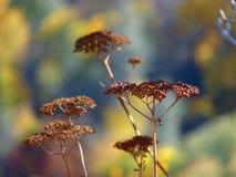 干燥植物 免版税库存图片