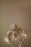 干燥植物 库存图片