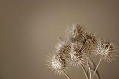 干燥植物 免版税库存照片