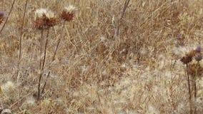 干燥植被和蓟种子(Cynara humilis)在地面上在夏天 股票视频