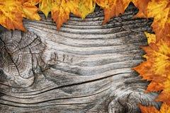 干燥槭树在老被打结的木背景留下边界背景 免版税图库摄影