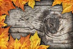 干燥槭树在老被打结的木背景留下边界背景 库存图片