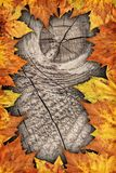 干燥槭树在老被打结的木背景留下边界背景 库存照片