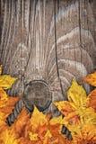 干燥槭树在老被打结的木背景留下边界背景 图库摄影