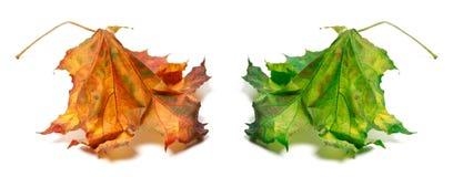干燥橙色和绿色槭树叶子 库存图片