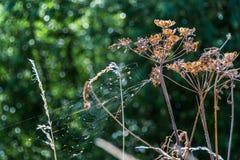 干燥母牛荷兰芹花和蜘蛛网自然背景 免版税库存照片