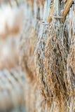 干燥水稻种子 库存图片