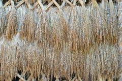 干燥水稻种子 库存照片