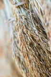 干燥水稻种子 免版税库存照片