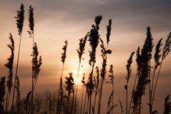 干燥沿海芦苇在金黄晚上阳光下 图库摄影