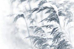 干燥沿海芦苇蜷缩了与雪 库存图片