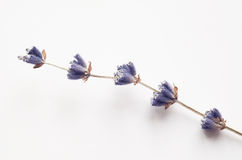 干燥淡紫色花 免版税库存图片