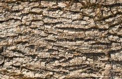 干燥漂流木头吠声纹理 免版税库存图片