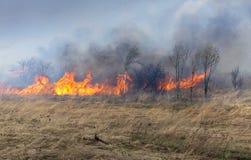 干燥火草结构树 库存图片