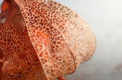 干燥灯笼果或空泡宏观射击  秋天花离开纹理 季节性背景 免版税库存照片