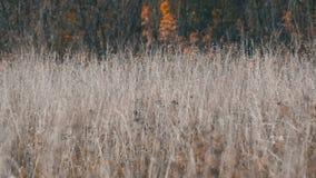 干燥灰色干草原草在深刻的秋天 影视素材