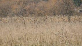 干燥灰色干草原草在深刻的秋天 股票视频