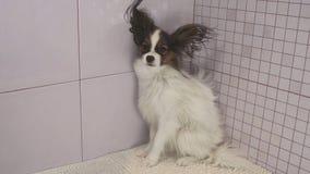 干燥狗在沐浴大陆玩具西班牙猎狗以后Papillon 免版税库存图片
