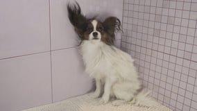 干燥狗在沐浴大陆玩具西班牙猎狗以后Papillon 免版税库存照片