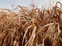 干燥玉米田在秋天 库存图片