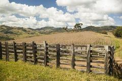 干燥玉米田在蓝天下在巴西 免版税库存图片