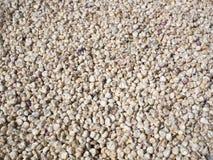 干燥玉米种子 图库摄影