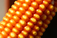 干燥玉米耳朵关闭 免版税库存照片