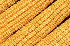 干燥玉米细节 图库摄影