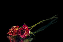干燥玫瑰二 库存照片