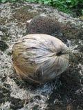 干燥的椰子 免版税库存照片