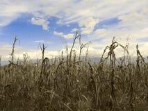 干燥的玉米 库存图片