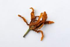 干燥的Champaca死好的气味 免版税库存照片