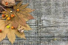 干燥秋天槭树叶子,干植物,在土气木公猪的坚果 库存图片