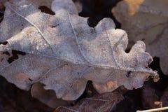 干燥秋天橡木叶子用水在雨以后滴下 库存照片