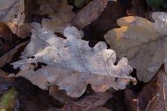 干燥秋天橡木叶子用水在雨以后滴下 库存图片
