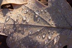 干燥秋天橡木叶子用水在雨以后滴下 免版税库存图片