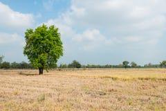 干燥米领域风景  免版税库存照片