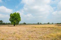 干燥米领域 库存图片