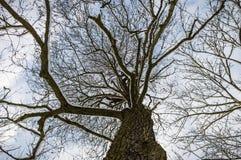 干燥老结构树 免版税库存照片