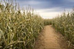 干燥脚道路穿过有淡色的晚秋天玉米田 免版税库存图片