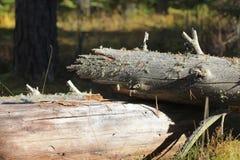 干燥腐烂的下落的树 免版税库存照片